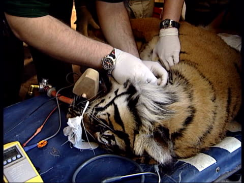 london zoo breeding procedure for tigers; raika anaesthetised on operating table vets carrying out artificial insemination procedure cms vet's hand... - artificial insemination stock videos & royalty-free footage