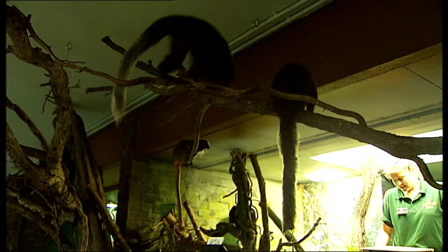 london zoo carries out annual weighin england london london zoo throughout** various shots of zookeeper weighing small bearded tamarin monkeys... - 秤点の映像素材/bロール