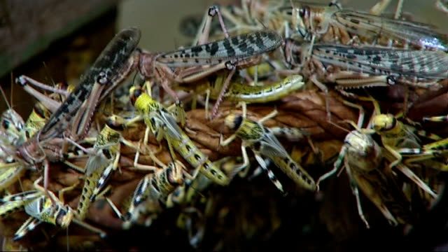 London Zoo keepers begin annual animal count GVs Bugs and senior keeping interview ENGLAND London London Zoo INT GVs of locusts ants and other bugs...