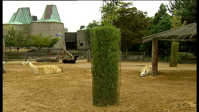london zoo's photographic archive available on world wide web ext good shots of llamas in zoo enclosure - enclosure stock videos & royalty-free footage