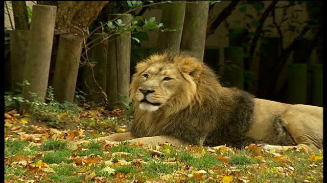 london zoo's photographic archive available on world wide web lion in enclosure - enclosure stock videos & royalty-free footage