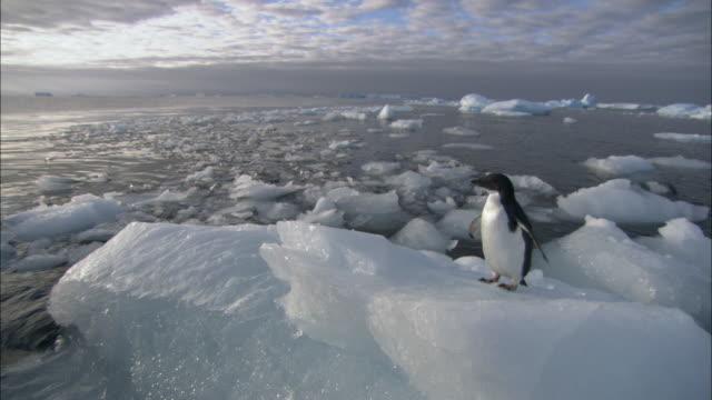 ms, lone adelie penguin (pygoscelis adeliae) on iceberg, antarctica - ペンギン点の映像素材/bロール