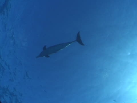 lone atlantic spotted dolphin shot from underneath - spotted dolphin stock videos and b-roll footage