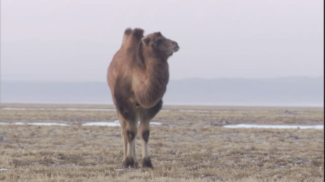 A lone bactrian camel stands in the Gobi Desert, Mongolia. Available in HD.