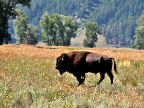 lone bison-pal - jackson stock videos & royalty-free footage