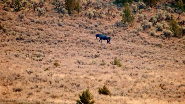 lone black stallion south steens hma wild horses steens mountain near malhuer wildlife refuge 2 - stallion stock videos & royalty-free footage