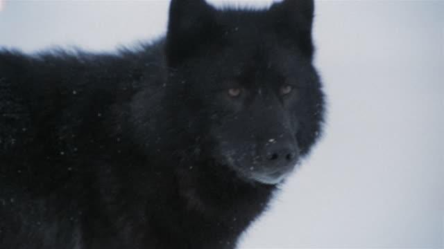 MS TU Lone black wolf walking in winter snow / Alaska, USA