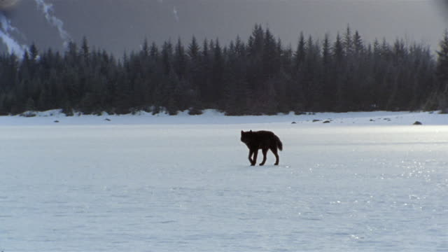 vídeos de stock, filmes e b-roll de ws pan lone black wolf walking in winter snow / alaska, usa - usa