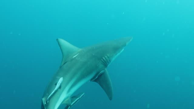 vidéos et rushes de lone blacktip shark - poisson pilote