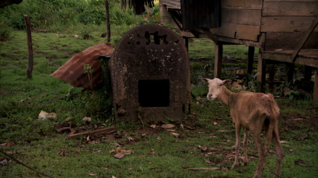 A lone brown goat bleats next to the remains of an old steam engine at Monkey Point, Nicaragua (no sound).