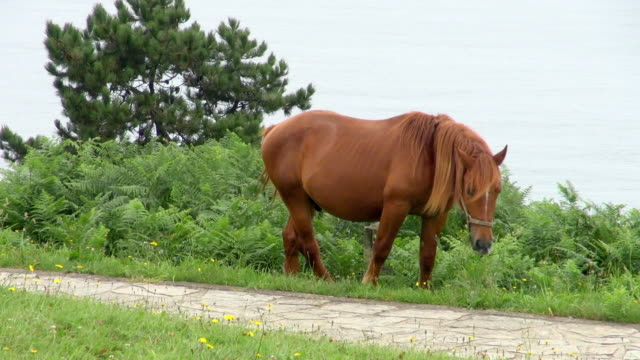 lone brown horse lazily grazing with beach backdrop - stallion stock videos & royalty-free footage