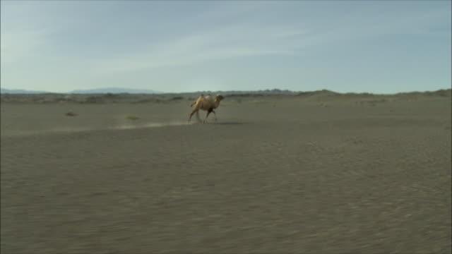lone camel running - camel stock videos & royalty-free footage
