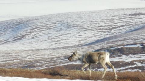 vídeos de stock e filmes b-roll de lone caribou from porcupine caribou herd - ártico