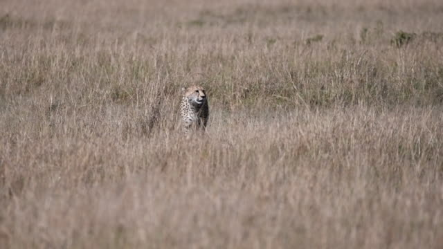 A lone cheetah walking through the grassland inside masai mara natural reserve during a wildlife safari