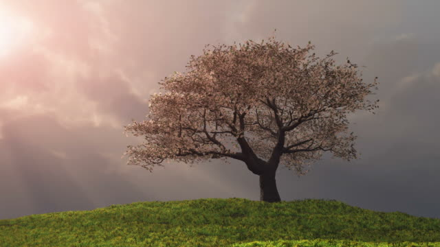 lone cherry tree on a hill with god rays - cherry blossom stock videos & royalty-free footage