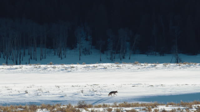 Lone coyote walking along Lamar River in winter. Wide shot. Color Graded and RAW file.
