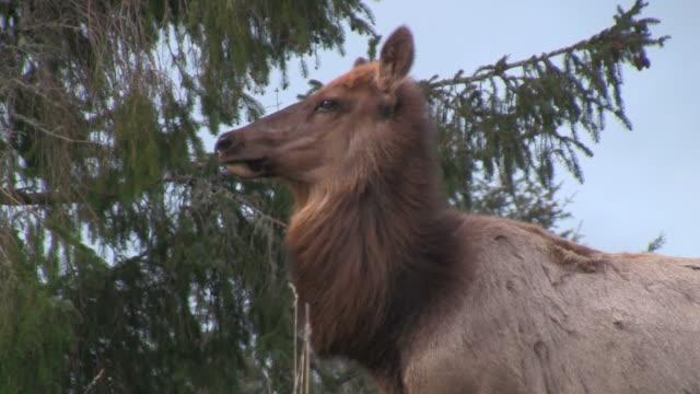 vídeos y material grabado en eventos de stock de elk solitario - zoología