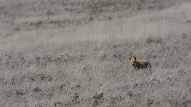 lone fox standing in a large field of gray hay - hundeartige stock-videos und b-roll-filmmaterial