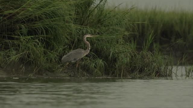a lone heron stands along the grassy shoreline. - vattenfågel bildbanksvideor och videomaterial från bakom kulisserna