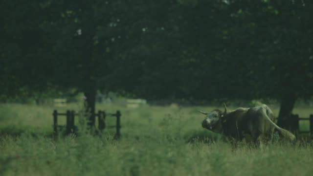 A lone horned cow with a yellow ear tag stands calmly on the rough pasture of Stourbridge Common, Cambridge, UK.