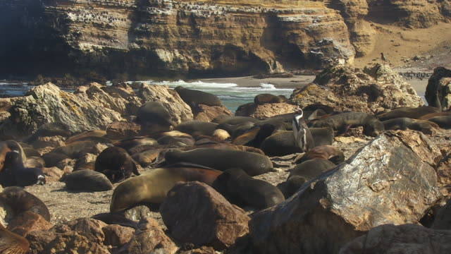 ws lone humboldt penguin looks around on rocks with south american fur seals - cape fur seal stock videos & royalty-free footage
