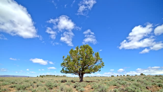 Lone independent juniper tree under blue sky and puffy clouds in the desert with sagebrush South Steens Mountain near Malheur National Wildlife Refuge