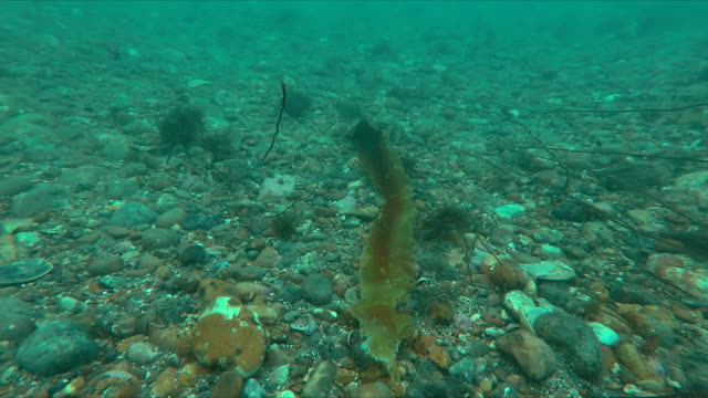 lone kelp frond on barren sea floor, sussex - aquatic organism stock videos & royalty-free footage