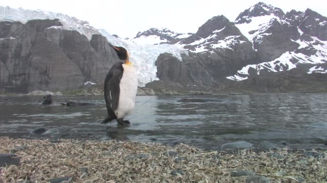 ms, lone king penguins (aptenodytes patagonicus) perching on rock in pond, southern elephant seals (mirounga leonina) swimming, snowy mountains in background, south georgia island, falkland islands, british overseas territory - elefante marino del sud video stock e b–roll