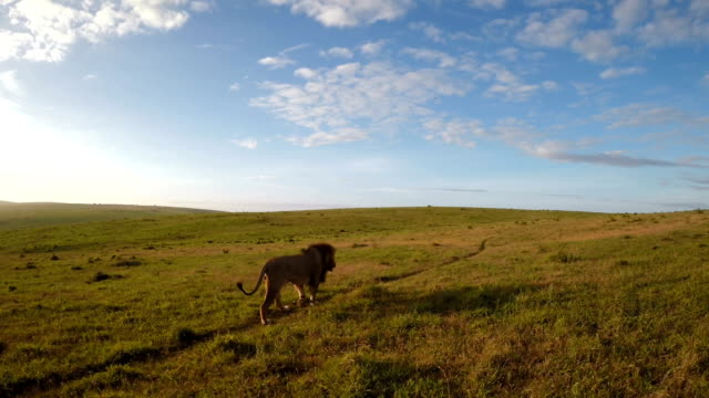 lone lion on the grasslands - animal themes stock videos & royalty-free footage