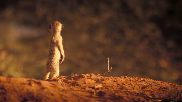 vídeos y material grabado en eventos de stock de a lone meerkat stands alert and crawls away. available in hd. - desierto del kalahari