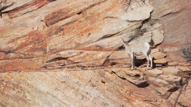 lone mountain goat grazing on red sandstone cliff in zion national park utah - sandstone stock videos & royalty-free footage