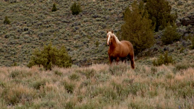 Lone mustang at dawn grazing 3 South Steens HMA Wild Horses Steens Mountain Near Malhuer Wildlife Refuge 14