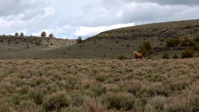 lone mustang at dawn grazing wide 3 south steens hma wild horses steens mountain near malhuer wildlife refuge 13 - 荒野点の映像素材/bロール