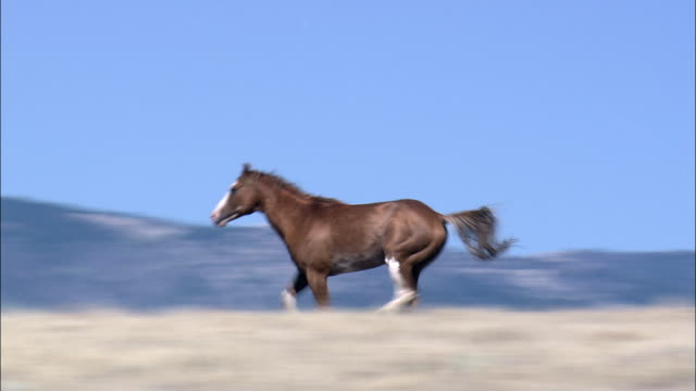 lone mustang in landscape  - aerial view - wyoming,  fremont county,  helicopter filming,  aerial video,  cineflex,  establishing shot,  united states - horse stock videos & royalty-free footage