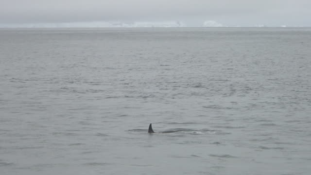 lone orca (killer whale) surfacing. - surfacing stock videos & royalty-free footage