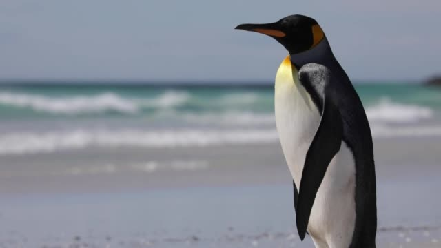 lone penguin on the beach - penguin stock videos & royalty-free footage