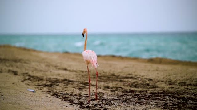 vídeos de stock, filmes e b-roll de a lone pink flamingo is seen as it walks along haulover beach on may 17 2018 in miami beach florida lifeguards on the beach said that the flamingo... - organismo aquático