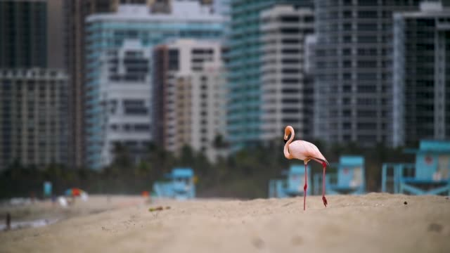 vídeos y material grabado en eventos de stock de a lone pink flamingo is seen as it walks along haulover beach on may 17 2018 in miami beach florida lifeguards on the beach said that the flamingo... - pájaro acuático