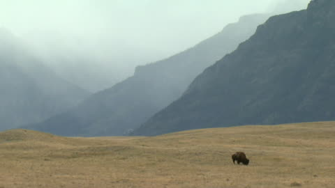 ws lone plains bison (bison bison bison) grazing in field, mountains covered with fog in background, waterton lakes national park, alberta, canada - 美洲野牛 個影片檔及 b 捲影像