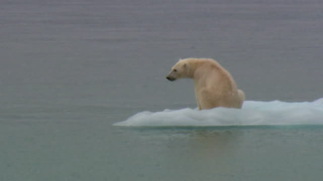 MS Lone Polar bear (Ursus maritimus) on ice floe, Devon Island, Nunavut, Canada