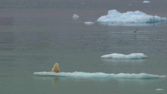 zo ws lone polar bear (ursus maritimus) on ice floe, devon island, nunavut, canada - clima polare video stock e b–roll