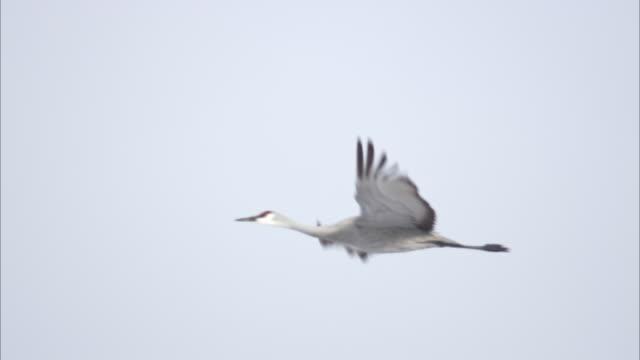 a lone sandhill crane flies in a light blue sky. - sandhill crane stock videos & royalty-free footage
