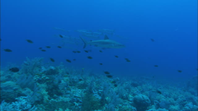 vidéos et rushes de a lone shark swims past shoals of small fish and barracudas. available in hd. - banc de poissons