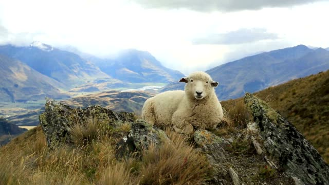 lone sheep lies on mountain ridge - sheep stock videos & royalty-free footage