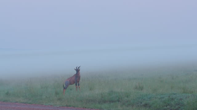 Lone Topi In Fog, Masai Mara, Kenya, Africa