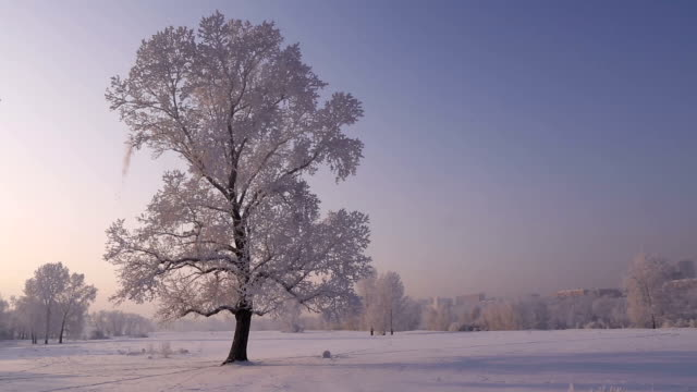 Lone tree covered with frost.