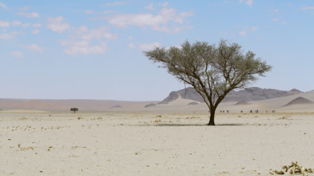 ws lone tree in sunny vast desert,namibia,africa - single tree stock videos & royalty-free footage