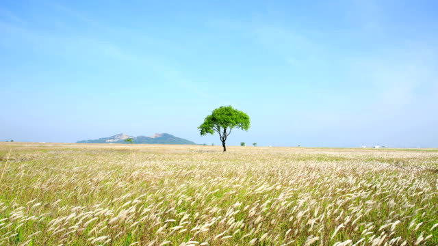 Lone tree on a windy field in Suseom Island (tourist attraction) in Hwaseong-si, Gyeonggi-do