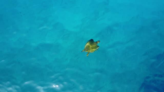 vidéos et rushes de piscine tortue solitaire sous la surface de l'eau près de maui - turtle bay oahu