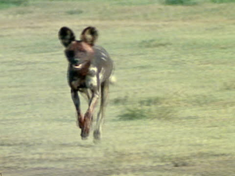 Lone Wild Dog trotting forward amp out of frame
